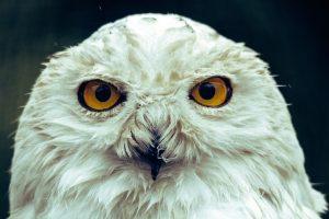 wzrok sowy